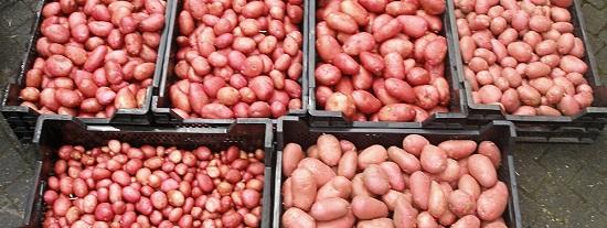Aardappel uitlopers
